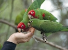 The Wild Parrots of Telegraph Hill (2003)